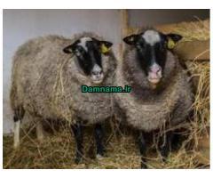 آموزش گوسفند داری