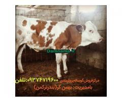 گوسالهپرواربندی فروش