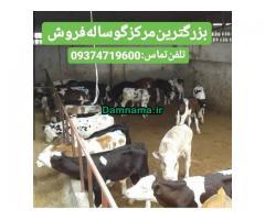 گوساله پرواری فروش
