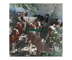 گوساله فروشی