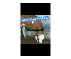 گوسالهفروش