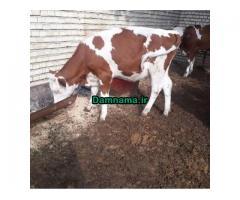 فروش گوساله