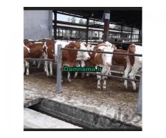گوسالهفروشبندرترکمن