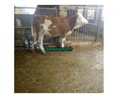 گوسالهسیمینتالهلشتاینفروش